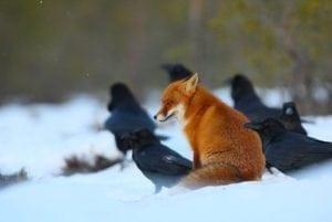 volpe nella natura