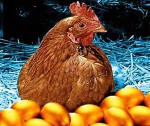 gallina uova d'oro
