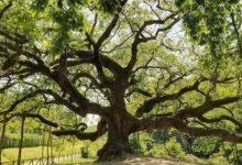 quercia delle streghe lucca