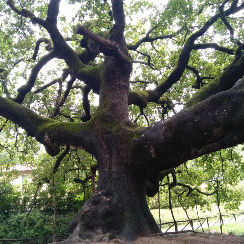 quercia delle streghe
