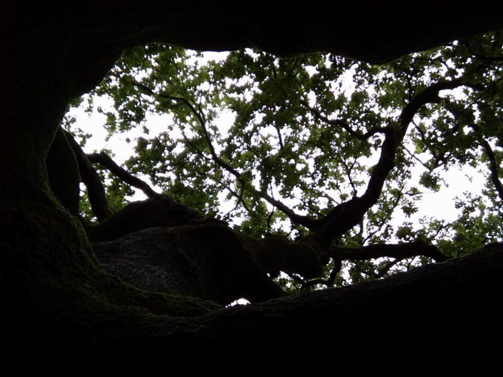 quercia di pinocchio