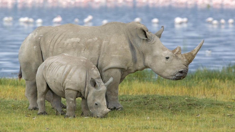 esemplari di rinoceronte bianco